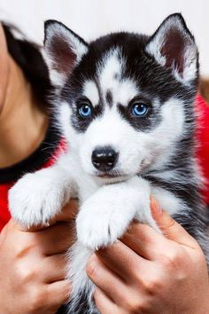 Baby Blue Eyes! #Siberian #Husky