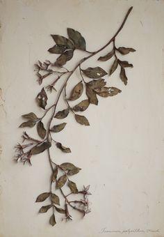 羽衣素馨 Jasminum polyonthum Franch. モクセイ科ソケイ属の蔓性常緑灌木