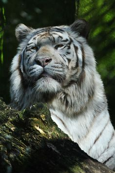 Siberian Tiger - A magnificent proud animal