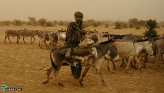 Another donkey caravan, returning unladen from Timbuktu to Mopti for more supplies     Courtesy: Toubab.com (UK).