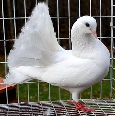 Fantail Pigeon Cute Animal Quotes, Cute Animal Videos, Beautiful Chickens, Beautiful Birds, Cute Creatures, Beautiful Creatures, Fantail Pigeon, Pigeons For Sale, Cute Pigeon