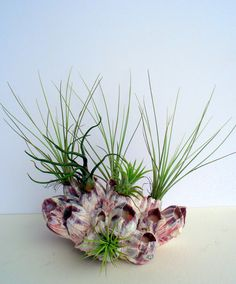Air Plant Barnacle Planter by TwistedAcres on Etsy, $45.00