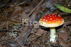 A Soft Focus Fly Agaric Mushroom in Undergrowth. Mushroom Stock, Image Now, Stuffed Mushrooms, Royalty Free Stock Photos, Red, Stuff Mushrooms