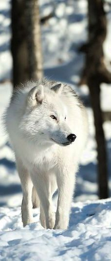 ☆ Arctic Wolf :¦: Photography By Bill Maynard ☆