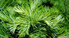 pine-784379_1280