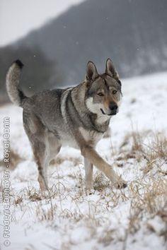 CZECHOSLOVAKIAN WOLFDOG- german shepherd/wolf breed.