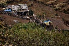 Les peuples sans loi de l'Himalaya qui vivent de la culture de la marijuana