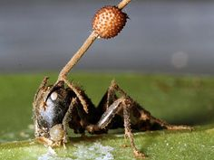 Ant zombification begins when an Ophiocordyceps fungus shoots spores onto an insect. The parasitic fungus gradually takes over the ant's brain and directs the insect to a cool, moist location. The fungus then kills the ant, and fruiting bodies erupt from the ant's head and spread more spores.