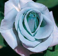 Blue Shades Rose