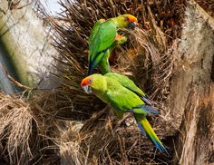 Beautiful Golden-capped Parakeets (Aratinga auricapillus) looking for a great breakfast in a palm tree.