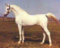 Morafic (Nazeer [Mansour x Bint Sahima] x Mabrouka [Sid Abouhom x Moniet El Nefous]) 1956 grey SE stallion bred by EAO/Al Zahraa Stud, Egypt