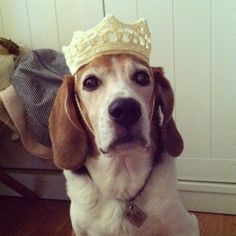 My beagle wearing crochet crown | asholic weblog system