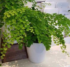 7 Μοναδικά φυτά εσωτερικού χώρου που δεν χρειάζονται φως! | exypnes-idees.gr Tree Fern, Echeveria, Herbs, Plants, Herb, Plant, Planets, Medicinal Plants