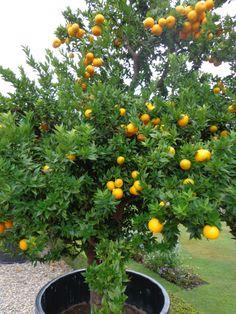 Kumquat mal llamado quinoto fortunella margarita el for Citrus myrtifolia