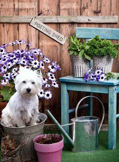 """Gardening Westie (don't all Westies love to """"garden""""?"""