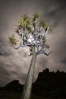 Koker Boom (quiver tree) Richtersveld South Africa. BelAfrique your personal travel planner - www.BelAfrique.com