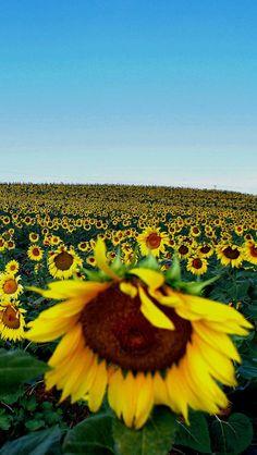 Sunflower, Central Macedonia