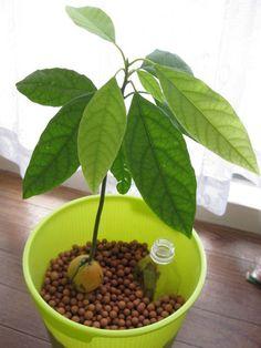 食べた後の種を植えると目が伸び、生育が旺盛なので簡単にぐんぐん成長していきます。日当たりのよい場所に置いて育てましょう。