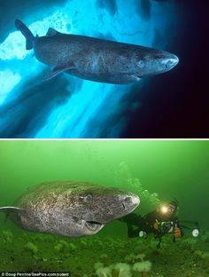 Greenland shark (Somniosus microcephalus) also known as the Sleeper or ground shark is a shark endemic to, you guessed it Greenland and Iceland, making them the northernmost shark alive today. Greenland Shark, Greenland Iceland, All Sharks, Types Of Sharks, Underwater Creatures, Underwater World, Large Animals, Cute Animals, Northern Canada