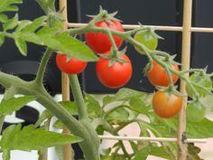 #pomidorki