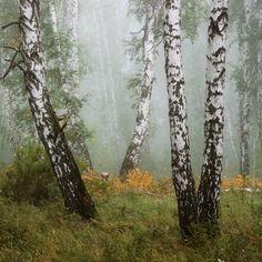 Birches, Wall Ideas, Creativity, Trees, Nature, Plants, Baby, Scenery, Naturaleza