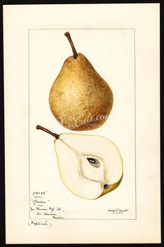 Station, South Haven, Michigan, October (duplicate painting) Botanical Illustration, Botanical Prints, Printable Flower Pictures, Pear Drawing, Pyrus, Fruit Painting, Apple Pear, Fabric Pictures, Botany