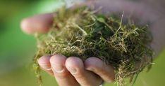 Damit der Rasen auf Dauer moos- und unkrautfrei bleibt, reicht es nicht, die unerwünschten Pflanzen regelmäßig zu entfernen – der Schlüssel zum Erfolg ist die richtige Rasenpflege.