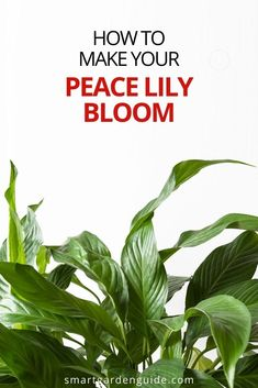 My top tips for getting a Peace Lily to bloom again. If your Peace Lily has stopped blooming, this article can tell you what you need to do to get it blooming again and looking fantastic.