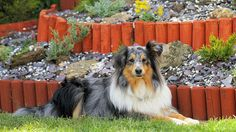 The new rockery story… Blue Merle Sheltie, Let It Be, Light Well, Animals, Halo, Lime, Search, Google, Animales