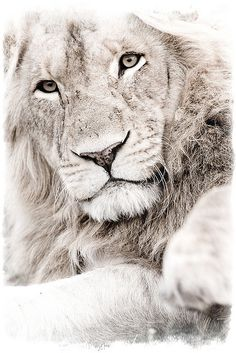 .Lion by Michael Poliza