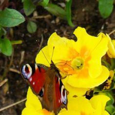 Schmetterling Rettungsaktion mit Zuckerwasser