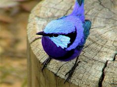 The Splendid Fairywren (Malurus splendens) is a passerine bird of the Maluridae family.  It is found across much of the Australian continent.