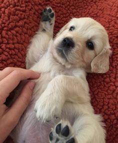 Golden retriever puppy for sale orange county ca
