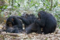 Rubondo Island National Park Another Home for Chimpanzees. The park has devised a strategy targeted at habituating chimpanzees and turn it into a new tourist product.