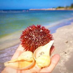 Seashell treasures at #blindpass #seaurchin #whelk #seashells #islandgirl #saltwater #staysalty #saltair #islandlife #goodvibes #beachgirl #beachgirl #beachy #wildchild #oceanlove #barefoot #beachgypsy #saltyhair #paradise #mermaid #sanibelgirl #sanibel #sanibelisland #captivaisland #sanibeldrinks #ftmyers #santiva #swfl #captiva #pineisland