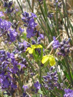 Wild Lavender. Image courtesy of IFPA Member Ian Cambray-Smith