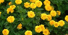 These annual flowers come in shades of yellow orange and reddish-bro Marigolds. These annual flowers come in shades of yellow orange and reddish-bro Marigolds. These annual flowers come in shades of yellow o Backyard Garden Landscape, Landscape Edging, Garden Landscaping, Large Backyard, Garden Gate, Marigolds In Garden, Garden Pests, Insect Repellent Plants, Snake Repellant