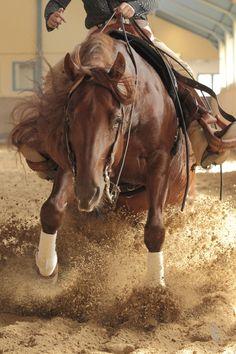 "Quarter Horse Hengst - sliding stop by Thomas Hautmann. ""Quarter Horse stallion in action - western riding discipline ""reining"" with a sliding stop."""
