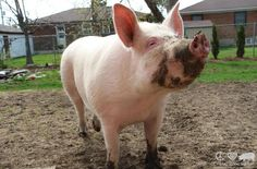 esther the wonder pig | Esther The Wonder Pig Is A 500-Pound House Pet, And So Much More