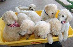 standard poodles | Standard Poodles - Dogs - Spoodles