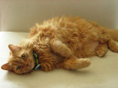 Cinnamon was surrendered to the care of the Greater Victoria Animal Crusaders in 2012 by her elderly owner.  Cinnamon is approximately 12-15 years old.  She came to us with arthritis and dental issues, poor thing.