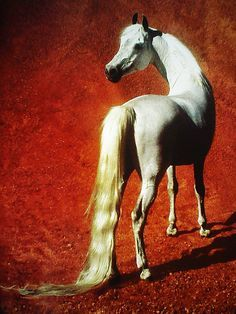 by Robert Vavra - Horses of the Sun. This photo can be found in Robert's book Horses of the Sun: A Gallery of the World's Most Exquisite Equines 1995. Lovely book.