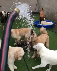 Two types of dogs. - - Two types of dogs. Funny Dog Videos, Funny Dogs, Funny Humor, Chien Golden Retriever, Cute Puppies, Cute Dogs, Cute Animal Videos, Cute Funny Animals, Funny Monkeys