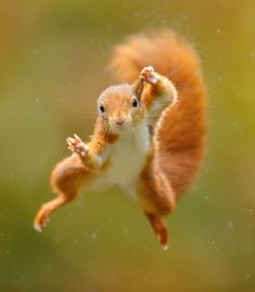 Red Squirrel, Animals, Draw, Character, Steel, Animales, American Red Squirrel, Animaux, To Draw