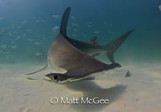 Great #hammerhead #shark in Bimini. Image by underwater photographer Matt McGee. More photos at http://www.mattmcgeephotography.com