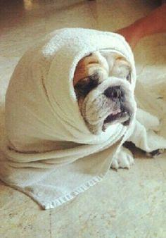 #English #Bulldog after bath