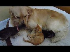 (697) Kitten Annoys Big Dog By Sniffing His Nose & Pawing At His Face - 7 Weeks Old - YouTube