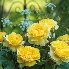 """The Poet's Wife: REPEAT-FLOWERING ROSES for abundant blooms and continuous enjoyment """"Roses are virtually unrivaled in their ability to flower so abundantly. Here we select some of our favorite repeat-flowering roses."""""""
