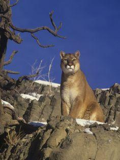 Puma (Puma concolor) male - Western North America