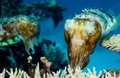 A pair of Common reef cuttlefish (Sepia latimanus) hovers above a patch of hard coral located on the Far Northern part of the Great Barrier Reef.   Stephen Frink / Corbis